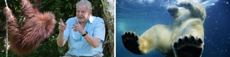 David Attenborough - Polar Bear